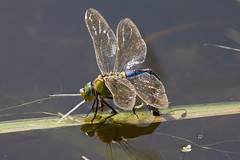 Dragonfly laying eggs (RonW's Nature Photography) Tags: netherlands canon insect eggs damselfly 100400