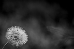 Fading away. (kxxe) Tags: brazil bw white plant black flower nature branco ball 50mm raw dof pentax flor pb preto blow dandelion e kr dslr melancholic dentedeleão