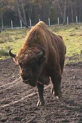 Zubr (mikka1982) Tags: belarus bison zubr