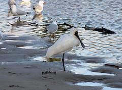 A Royal Spoonbill in Lake Elliott Warilla (pat.bluey) Tags: friends lake birds australia newsouthwales 1001nights elliott littlelake warilla flickraward 1001nightsmagiccity hganimalsonly hg~sb sunrays5 top25naturesbeauty