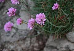 Sea Pink or Common Thrift (Armeria maritima) (zeesstof) Tags: uk scotland aberdeenshire cove coveharbour canon7d canonefs18135mmf3556is zeesstof