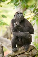 2013-10-05-10h22m37.272P4388 (A.J. Haverkamp) Tags: zoo rotterdam blijdorp gorilla dierentuin diergaardeblijdorp westelijkelaaglandgorilla nasibu httpwwwdiergaardeblijdorpnl canonef100400mmf4556lisusmlens pobfrankfurtgermany dob01042007