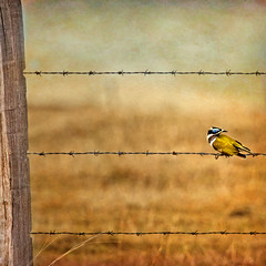 sunday arvo - peak crossing country (Fat Burns ☮) Tags: bird fauna fence barbedwire bluefacedhoneyeater australianfauna birdonbarbedwire