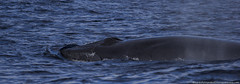 Brydes Whale (HortaCetaceos) Tags: snorkeling dolphins pico whale whales whalewatching azores aores spermwhale faial golfinhos cachalote baleias cetaceos cetceos observao cachalotes hortacetaceos hortacetceos