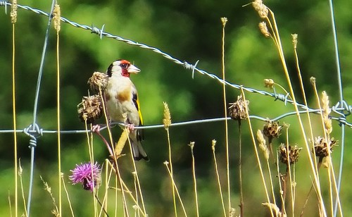 Steglits / Goldfinch