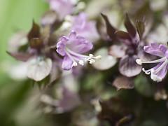 Flor de Albahaca (Ocimum basilicum) (cachanico) Tags: flowers flores flower fleur fleurs flor olympus basil fiori fiore basilico nissin manjerico albahaca e420 ocimumbasilicum difusor yongnuo di466 rf602 cachanico zd40450