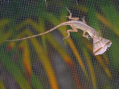 Lizard Lunch (DonMiller_ToGo) Tags: nature moth lizard telephoto gf1 45200mm