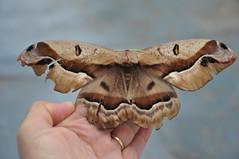 Mariposa, Moth (GilbertoMPalma) Tags: moth mariposa gilbertompalma