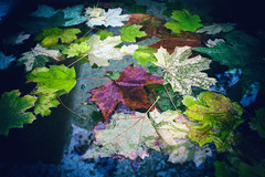 Autumn Leaves (Bephep2010) Tags: autumn schweiz switzerland leaf sony herbst basel nik alpha blatt 77 baselstadt slta77v sal1650f28 analogefex