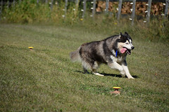 """Zarros Is So Tired, His Body & Tongue Are Going Sideways, As He Is Trying To Be Upright!! • <a style=""""font-size:0.8em;"""" href=""""http://www.flickr.com/photos/96196263@N07/11217507964/"""" target=""""_blank"""">View on Flickr</a>"""
