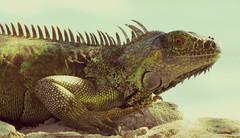 (goatling) Tags: green island seaside reptile lizard iguana tropical tropic caribbean cayman carib caymanislands tropics grandcayman caribe westbay westindies britishwestindies 201312gcm