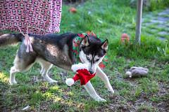 Naughty anti Christmas Husky (Gertrude139) Tags: santa christmas blackandwhite dog hat bells naughty happy husky siberianhusky merry collar jingle sibe bieyed
