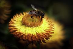 My Honey..... beeeeee (Azarbhaijaan) Tags: pakistan flower rose yellow garden march fly jasmine bee honey islamabad baghdadi 2013 pakistaniphotographer pentaxk10d azharmunir drpanga