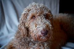light, brown (HJK Photography) Tags: light portrait dog pet dogs animal shade labradoodle pallas lightbrown designerdog