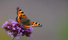Aglais urticae (Small Tortoisechell, Kleine vos) (Rob Blanken) Tags: macro butterflies aglaisurticae kleinevos smalltortoiseshell nikond800 sigma180mm128apomacrodghsm