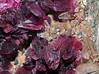 roselite, calcite (géry60) Tags: morocco tazenakht ouarzazateprovince soussmassadraâregion bouazerdistrictbouazzerdistrict soussmassadra‰region bouazereastdeposit bouazer