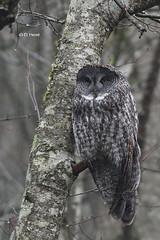 Great Gray Owl (featherweight2009) Tags: birds britishcolumbia greatgrayowl raptors owls birdsofprey strixnebulosa