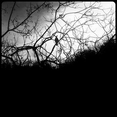 crow with a snack (Laura) Tags: blackandwhite bw fone sq