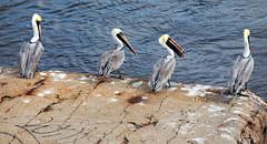 Four Pelicans_1488 (hkoons) Tags: ocean sea bird birds mexico bay countryside town fly wings village country flight wing beak feathers lagoon pelican tabasco fowl seabird golfofmexico delcarmen sánchezmagallanes stateoftabasco