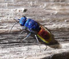 Chrysididae. Ruby-tailed Wasp.Chrysis ignita (gailhampshire) Tags: taxonomy:binomial=chrysisignita chrysididaerubytailedwaspchrysisignita