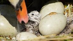 """""""Herzlich willkommen"""" - mit ganz besonderen leisen Tönen begrüßt die Schwanenfrau ihr Erstgeborenes! - Was für ein bewegender Moment. Dabei ist es doch """"nur"""" ein Küken! (elke.kemna) Tags: schwan höckerschwan schwanküken"""