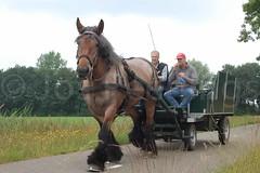 DSC_1935 (Ton van der Weerden) Tags: horses horse dutch de cheval belgian nederlands belges draft chevaux belgisch trait gerwen trekpaard trekpaarden