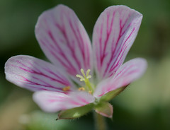 Geranium Detail 3 (mo-barton.pixels.com) Tags: pink light summer flower garden spring flora pretty mauve delicate geranium hairs cranesbill patterned veined sepals hardygeranium mobarton