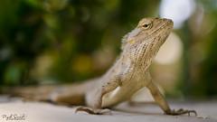 Chameleon Club !! (Piyush.Saxenaa) Tags: nikon nikond5100 d5100 1835 sigma sigma1835 piyush piyushsaxena piyushsaxenaa psphotography shuttermutterphotography digital macro animal light art artwork day new garden fall india travel traveller pose chameleon
