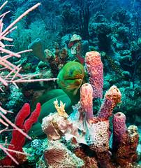 Green Moray (jnhPhoto) Tags: jnhphoto scuba scubadiving adventure ocean eel coral corals