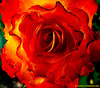 Nº-237.!!! ROSE. !!! (Jordi Camardons Caralt) Tags: rosa rose botanica flor flowers irlanda tralee rosaceas rosaceae ireland impresionista colorsplash colorexplosion theroseoftralee impresionnisti inpressionistic