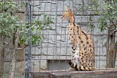 Serval | Tama Zoological Park (ナギ (nagi)) Tags: serval サーバル 多摩動物公園 ルナ ユリ
