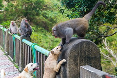 20170313Fighting  between dogs and monkeys-01 (wang_6834) Tags: 猴子 狗