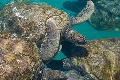 Glide (pittpanthersfan) Tags: ocean sea water swim turtle reptile caribbean cayman seaturtle caymanislands grandcayman seaturtles turtlefarm