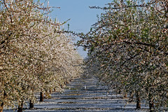 Orchard_4321-1 (jbillings13) Tags: california landscapes farming almond orchard orchards kerncounty almondorchard