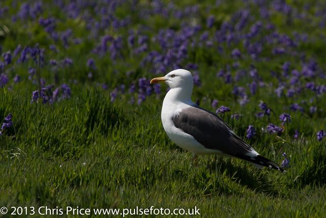 Lesser Black Backed Gull on Skomer