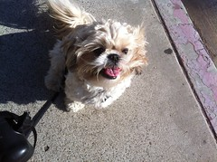 Louie (pawstopavementsd) Tags: dog cute puppy sandiego shitzhu