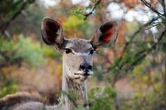 Female Kudu (Tragelaphus strepsiceros) (Brendon White) Tags: bigears pretoria kudu tragelaphusstrepsiceros groenkloof