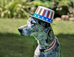 Happy Independence Day!! (champbass2) Tags: usa dogs female america freedom joy greatdane independence 4thofjuly independenceday redwhiteandblue familypets funhats dogwearinghat champbass2 merlegreatdane dogwearingstarsandstripehat