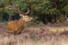 Red Deer (Wim Boon (wimzilver)) Tags: nature netherlands nederland natuur reddeer hogeveluwe nationalparkdehogeveluwe zoogdier burlen canon300mmf4lis wimzilver canon300mmf4lis14ex hertenbronst hertenbronst2012 hertenbronst2013