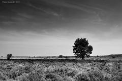 Lonely Tree (Pieter Musterd) Tags: tree nederland thenetherlands boom 5d nl paysbas lonelytree niederlande nationaalpark dwingelderveld musterd pietermusterd nationaalparkdwingelderveld canon5dmarkii fietsvakantie2013