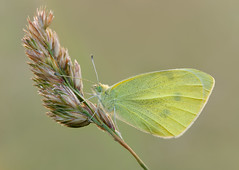 Cabbage White Butterfly (Alan MacKenzie) Tags: macro nature butterfly insect sussex brighton wing southdowns cabbagewhite smallwhite