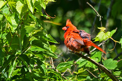 Tough Day At The Office (Chad Horwedel) Tags: tree male bird illinois cardinal messy naperville malecardinal dupageriverpark