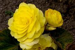 IMG_7291 (Lightcatcher66) Tags: florafauna makros blütenundpflanzen lightcatcher66