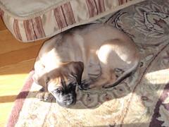 Libby's 1st Year (katedubya) Tags: puppy englishmastiff