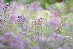 Alyssum 'Wandering' in the Misty Blur (Anna Omiotek-Tott) Tags: flowers summer blur flower nature garden nikon pastel august flowering alyssum 2013 alyssumwanderingmix