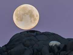 Polarbear sleeping under a full moon - At Karl XII Island, Svalbard (Pewald) Tags: bear moon nature norway wildlife full svalbard polarbear karlxiiisland