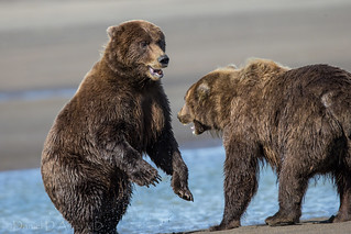 Bear Pause 7527