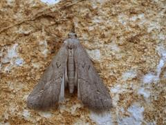 Schrankia costaestrigalis (Pip Sunmas) Tags: 8866 erebidae hypeninae hypenodinae mocsárikarcsúbagoly pinionstreakedsnout schrankiacostaestrigalis pa135732 erebidaebükk