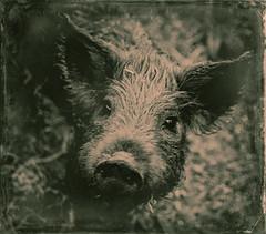 santa fe pig (Hannah Rose Mendoza) Tags: santafe animal mexico pig grain nayarit wetplate piglet damaged farmanimal snout animalportrait greenandpeach