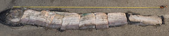 14-foot Oarfish (CSUF Photos) Tags: misty state cal fullerton csuf oarfish paigtran